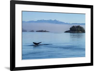 Canada, British Columbia. Humpback whale's tale as it dives, Johnstone Strait.-Brenda Tharp-Framed Premium Photographic Print