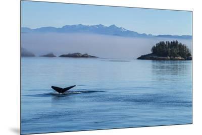 Canada, British Columbia. Humpback whale's tale as it dives, Johnstone Strait.-Brenda Tharp-Mounted Premium Photographic Print