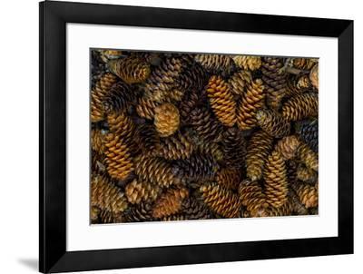 Canada, Yukon Territory, Kluane National Park. Close-up of spruce cones.-Jaynes Gallery-Framed Premium Photographic Print