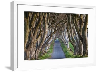 Ireland, County Antrim, Ballymoney, The Dark Hedges road-Walter Bibikow-Framed Premium Photographic Print