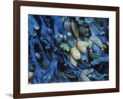 One finds this kelp growing on the beach in Hellnar, Iceland.-Mallorie Ostrowitz-Framed Photographic Print
