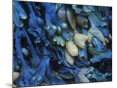 One finds this kelp growing on the beach in Hellnar, Iceland.-Mallorie Ostrowitz-Mounted Photographic Print