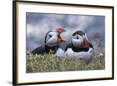 Iceland, Breidavik, Puffins-Hollice Looney-Framed Premium Photographic Print