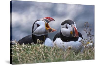 Iceland, Breidavik, Puffins-Hollice Looney-Stretched Canvas Print