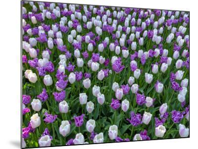 Violet and White Delight-Marco Carmassi-Mounted Photographic Print