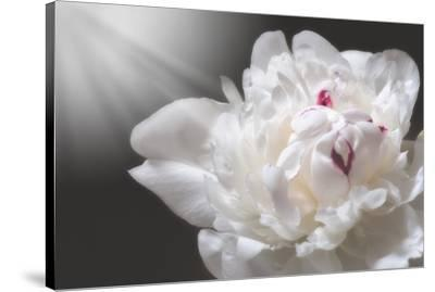 White Beauty-Philippe Sainte-Laudy-Stretched Canvas Print