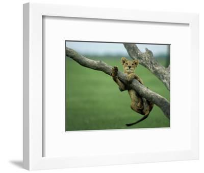 A lion cub hangs from a branch.-Beverly Joubert-Framed Premium Photographic Print