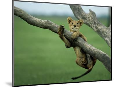 A lion cub hangs from a branch.-Beverly Joubert-Mounted Premium Photographic Print