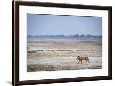 A male lion walking on the banks of the Luangwa River.-Chris Schmid-Framed Photographic Print