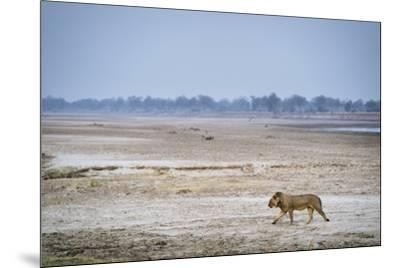 A male lion walking on the banks of the Luangwa River.-Chris Schmid-Mounted Photographic Print