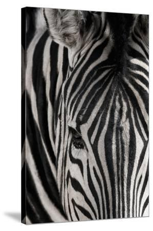 Portrait of a plains zebra, Equus burchellii, in Etosha National Park.-Chris Schmid-Stretched Canvas Print