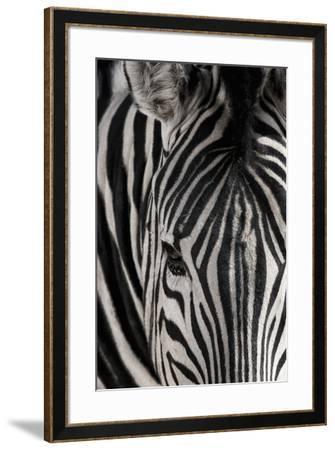 Portrait of a plains zebra, Equus burchellii, in Etosha National Park.-Chris Schmid-Framed Photographic Print