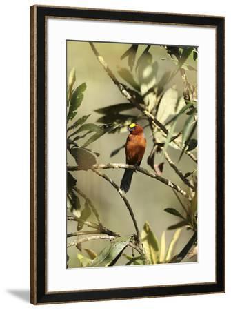 Plushcap, Catamblyrhynchus diadema, perched on a branch.-Cagan H. Sekercioglu-Framed Photographic Print