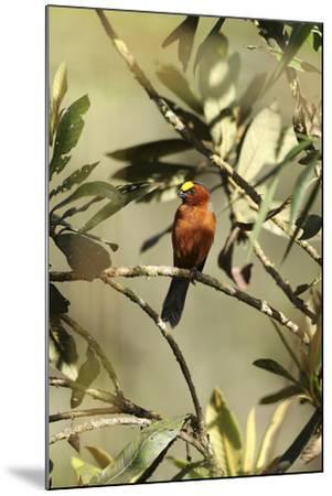 Plushcap, Catamblyrhynchus diadema, perched on a branch.-Cagan H. Sekercioglu-Mounted Photographic Print