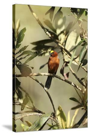 Plushcap, Catamblyrhynchus diadema, perched on a branch.-Cagan H. Sekercioglu-Stretched Canvas Print