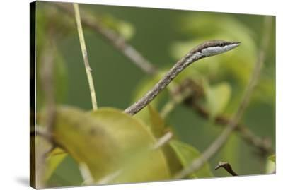 Close up of a Brown vine snake, Oxybelis aeneus.-Cagan H. Sekercioglu-Stretched Canvas Print