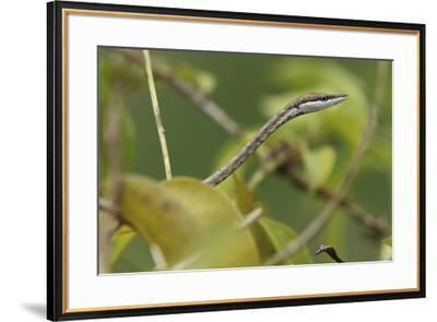Close up of a Brown vine snake, Oxybelis aeneus.-Cagan H. Sekercioglu-Framed Photographic Print