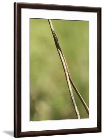 A brown vine snake, Oxybelis aeneus.-Cagan H. Sekercioglu-Framed Photographic Print