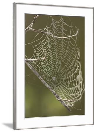 Morning dew on a spider web.-Cagan H. Sekercioglu-Framed Photographic Print