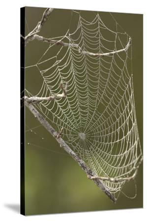 Morning dew on a spider web.-Cagan H. Sekercioglu-Stretched Canvas Print