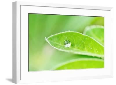 A bead of rainwater rests on the leaf of a lupine plant.-Amy White-Framed Photographic Print