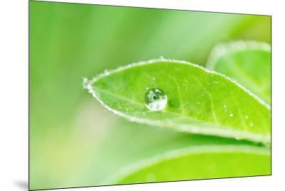 A bead of rainwater rests on the leaf of a lupine plant.-Amy White-Mounted Photographic Print