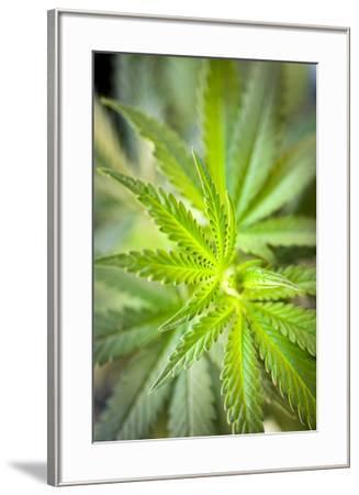 Close-up of marijuana or Cannabis sativa plant.-Jonathan Kingston-Framed Photographic Print