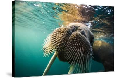 A walrus swims underwater off Hooker Island.-Cory Richards-Stretched Canvas Print