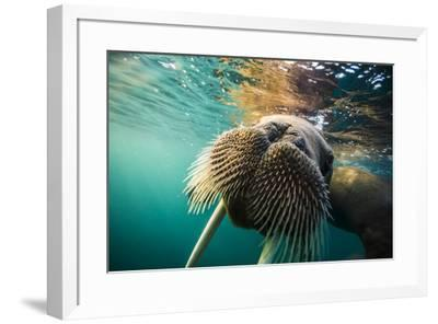 A walrus swims underwater off Hooker Island.-Cory Richards-Framed Photographic Print