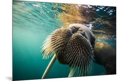 A walrus swims underwater off Hooker Island.-Cory Richards-Mounted Photographic Print