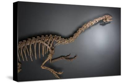 A dinosaur from the Late Cretaceous period at the Natural History Museum of Utah.-Cory Richards-Stretched Canvas Print