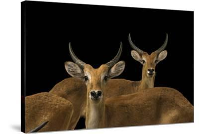 Red lechwe, Kobus leche, at Zoo Negara.-Joel Sartore-Stretched Canvas Print