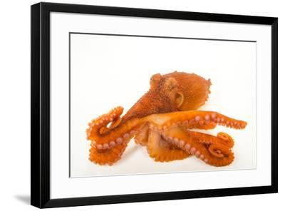 A female giant Pacific octopus, Enteroctopus dofleini, at the Alaska SeaLife Center.-Joel Sartore-Framed Photographic Print