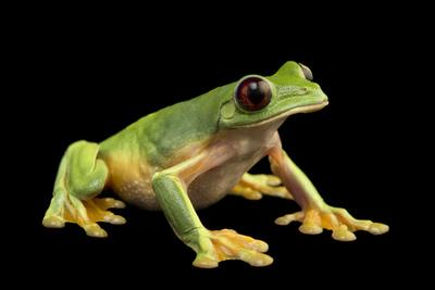 A gliding tree frog, Agalychnis spurrelli, at the Atlanta Botanical Garden.-Joel Sartore-Framed Photographic Print