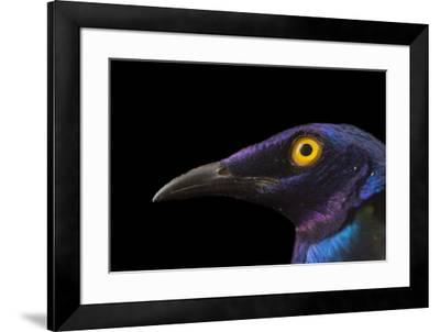 Purple glossy starlings, Lamprotornis purpureus, at the Topeka Zoo.-Joel Sartore-Framed Photographic Print