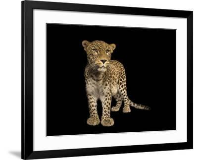 An endangered Persian leopard, Panthera pardus saxicolor, at the Budapest Zoo.-Joel Sartore-Framed Photographic Print