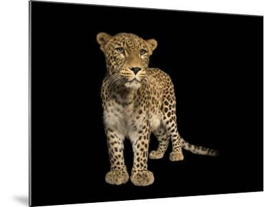 An endangered Persian leopard, Panthera pardus saxicolor, at the Budapest Zoo.-Joel Sartore-Mounted Photographic Print