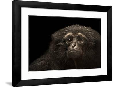 An endangered Agile gibbon, Hylobates agilis, at the Singapore Zoo.-Joel Sartore-Framed Photographic Print