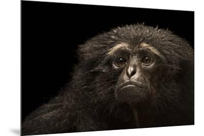 An endangered Agile gibbon, Hylobates agilis, at the Singapore Zoo.-Joel Sartore-Mounted Photographic Print