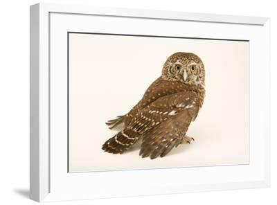 Eurasian pygmy owl, Glaucidium passerinum passerinum, at Alpenzoo in Innsbruck, Austria.-Joel Sartore-Framed Photographic Print