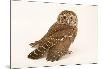 Eurasian pygmy owl, Glaucidium passerinum passerinum, at Alpenzoo in Innsbruck, Austria.-Joel Sartore-Mounted Photographic Print