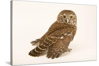 Eurasian pygmy owl, Glaucidium passerinum passerinum, at Alpenzoo in Innsbruck, Austria.-Joel Sartore-Stretched Canvas Print