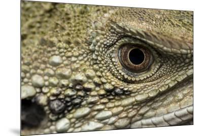 Macro eye and head of an Eastern water dragon, Intellagama lesueurii.-Doug Gimesy-Mounted Photographic Print