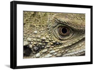 Macro eye and head of an Eastern water dragon, Intellagama lesueurii.-Doug Gimesy-Framed Photographic Print