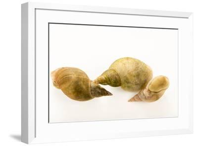 Great ramshorn snails, Planorbarius corneus, at Alpenzoo in Innsbruck, Austria.-Joel Sartore-Framed Photographic Print