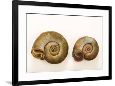 Great ramshorn snails, Planorbarius corneus, at Alpenzoo in Innsbruck, Austria.-Joel Sartore-Framed Photographic Print