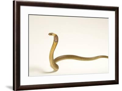 A Cape cobra, Naja nivea, at the LA Zoo.-Joel Sartore-Framed Photographic Print