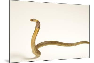 A Cape cobra, Naja nivea, at the LA Zoo.-Joel Sartore-Mounted Photographic Print