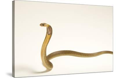 A Cape cobra, Naja nivea, at the LA Zoo.-Joel Sartore-Stretched Canvas Print