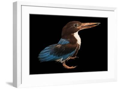 A white breasted kingfisher, Halcyon smyrnensis perpulchra, at Penang Bird Park.-Joel Sartore-Framed Photographic Print